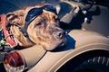 Картинка фон, собака, баикер