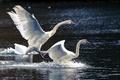 Картинка лебеди, озеро, природа