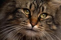Картинка Кот, взгляд, глаза