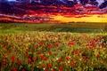"""Картинка картина, масло, художник О.Кац., """"Вечернее небо над маковым полем"""", холст"""