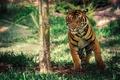 Картинка Калифорния, Сан-Диего, тигр в движении, сафари-парк