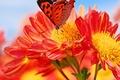 Картинка бабочка, мотылек, лепестки, цветок