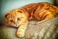 Картинка портрет, взгляд, играет, рыжий, скоттиш фолд, лапа, кот