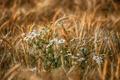 Картинка лето, ромашки, цветы, поле, колоски