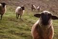 Картинка Овцы, луг, взгляд