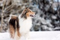 Картинка rough collie, dog, snow, park lake