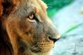 Картинка взгляд, морда, лев
