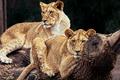 Картинка лев, кошки, зоопарк, прайд, пара, дерево, львицы, дикие кошки, лежат, природа, бревно, отдых, львы