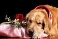Картинка роза, грустный, пёс, ретривер, гипсофила