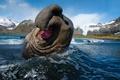 Картинка Mirounga leonina Linnaeus, тюлень, южный морской слон