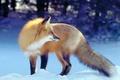 Картинка Лиса, лисица, зима