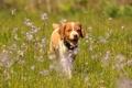 Картинка собака, цветы, щенок, прогулка, легавая собака, Эпаньол бретон, Бретонский эпаньоль, луг