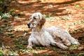Картинка природа, собака, english setter