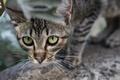 Картинка кошка, выглядывает, полосы, кот, листья