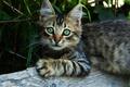 Картинка кошка, глаза, кот, взгляд, котенок, пушистый, деревня