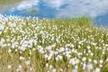 Картинка вода, цветы, озеро, Россия, белые цветы, Алтай, Долина семи озер