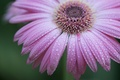 Картинка роса, вода, лепестки, цветок, капли