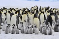 Картинка большие, семейство, маленькие, пингвины