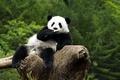 Картинка Животные, панда, на дереве, жуёт