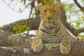 Картинка леопард, взгляд, на дереве, дикая кошка
