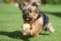 Картинка собака, бег, йорк, лужайка, трава, Йоркширский терьер