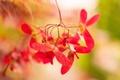 Картинка макро, природа, клён, боке, крылатки, Клён дланевидный, Японский клён