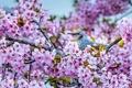 Картинка цветки, сакура, Короткопалый бюльбюль, бюльбюль, птица, цветение, вишня, ветки