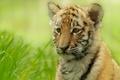 Картинка размытость, тигр, трава, тигрёнок