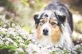 Картинка собака, обои от lolita777, аусси, цветы, луг
