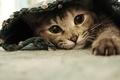 Картинка кошка, глаза, лапы, кот