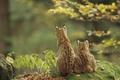 Картинка рыси, Lynxes, двое