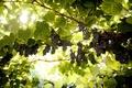 Картинка листья, виноград, кисти, лоза