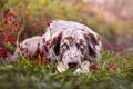 Картинка осень, трава, плоды, глаза, ягоды, аусси, ветки, морда, австралийская овчарка, природа, портрет, взгляд, лежит, собака