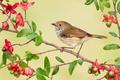Картинка рыжелобая шипоклювка, птица, Австралия, ветка, цветы