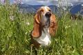 Картинка Бассет, трава, цветы