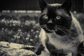 Картинка взгляд, в деревне, сиамский, кот, кошки