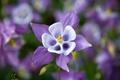 Картинка цветок, фиолетовый, сиреневый, водосбор, аквилегия, aquilegia, орлики
