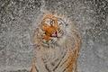 Картинка морда, Тигр, брызги