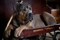 Картинка пёс, тележка, Кане-корсо, собака