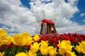 Картинка небо, облака, цветы, природа, весна, тюльпаны, sky, nature, flowers, clouds, tulips, spring, windmill, ветряная мельница