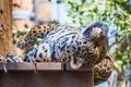 Картинка настил, хищник, отдых, ягуар, морда, дикая кошка