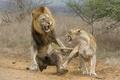 Картинка lioness, attack, lion, fight