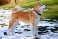 Картинка собака, щенок, снег, друг, ошейник, весна, акита-ину