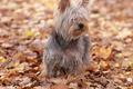 Картинка осень, ёрк, фифа, веселая собака