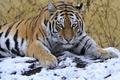 Картинка взгляд, тигр, снег