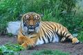 Картинка взгляд, тигр, хищник, отдых, полосатая кошка, лапы