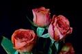 Картинка бутон, фон, лепестки, розы, букет