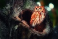 Картинка дерево, совень рыжая, птица, сова, лес, дупло