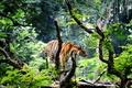 Картинка тигр, Индия, джунгли, Азия, молодой