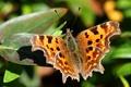 Картинка бабочка, природа, крылья, мотылек, листья